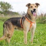 Чейз собака из приюта на пристройство, частный приют для бездомных животных Зов Предков zovpredkov.net фото 6