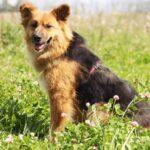 Миледи собака из приюта на пристройство, частный приют для бездомных животных Зов Предков zovpredkov.net фото 1