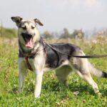 Весна собака из приюта на пристройство, частный приют для бездомных животных Зов Предков zovpredkov.net фото 2