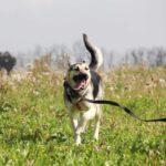 Весна собака из приюта на пристройство, частный приют для бездомных животных Зов Предков zovpredkov.net фото 1