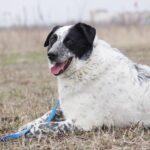 Шарм собака из приюта на пристройство частный приют Зов Предков фото 6