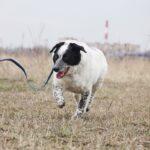 Шарм собака из приюта на пристройство частный приют Зов Предков фото 12