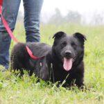 Шериф собака из приюта на пристройство, частный приют для бездомных животных Зов Предков zovpredkov.net фото 4