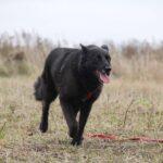 Васса собака из приюта на пристройство частный приют для собак Зов Предков фото 1