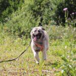 Джуди собака из приюта на пристройство, частный приют для бездомных животных Зов Предков zovpredkov.net фото 1