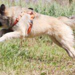 Джуди собака из приюта на пристройство, частный приют для бездомных животных Зов Предков zovpredkov.net фото 4