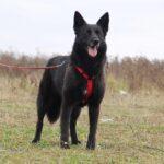 Васса собака из приюта на пристройство частный приют для собак Зов Предков фото 5