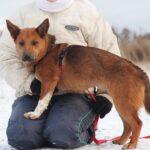Криспи собака из приюта на пристройство, частный приют для бездомных животных Зов Предков zovpredkov.net фото 1