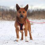Криспи собака из приюта на пристройство, частный приют для бездомных животных Зов Предков zovpredkov.net фото 5