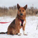 Криспи собака из приюта на пристройство, частный приют для бездомных животных Зов Предков zovpredkov.net фото 7