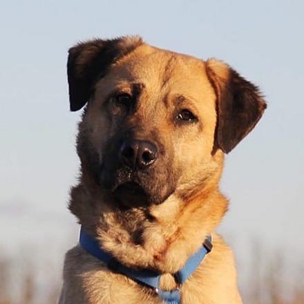 Байкал собака из приюта на пристройство, частный приют для бездомных животных Зов Предков zovpredkov.net