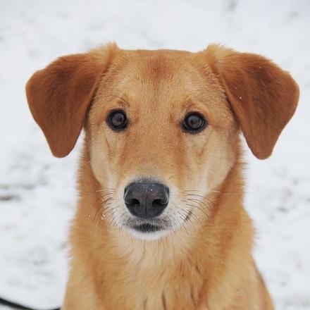 Фокси собака из приюта на пристройство частный приют для собак Зов Предков zovpredkov.net