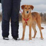 Фокси собака из приюта на пристройство частный приют для бездомных животных Зов Предков фото 1