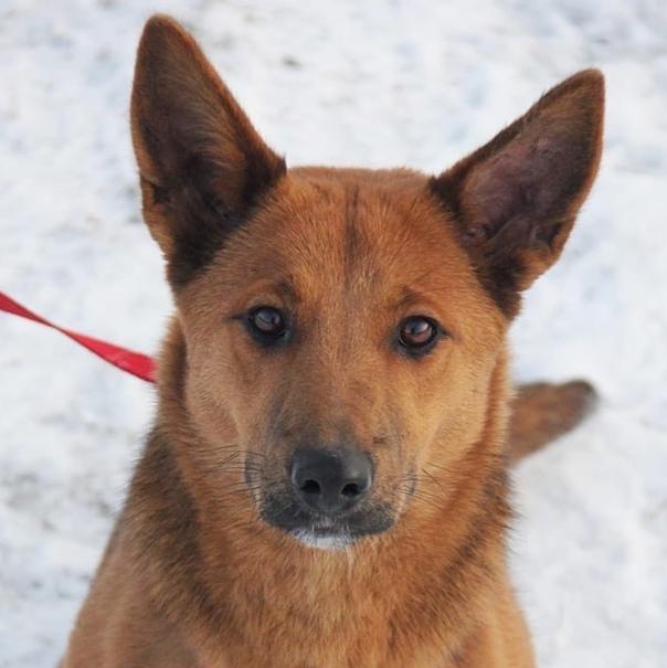 Криспи собака из приюта на пристройство, частный приют для бездомных животных Зов Предков zovpredkov.net