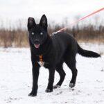 Бри собака из приюта на пристройство, частный приют для бездомных животных Зов Предков zovpredkov.net фото 3