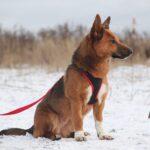 Криспи собака из приюта на пристройство, частный приют для бездомных животных Зов Предков zovpredkov.net фото 6