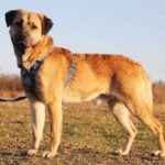 Байкал собака из приюта на пристройство, частный приют для бездомных животных Зов Предков zovpredkov.net фото 6
