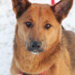 Криспи собака из приюта на пристройство, частный приют для бездомных животных Зов Предков zovpredkov.net фото 8