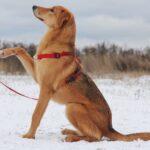 Фокси собака из приюта на пристройство частный приют для бездомных животных Зов Предков фото 4