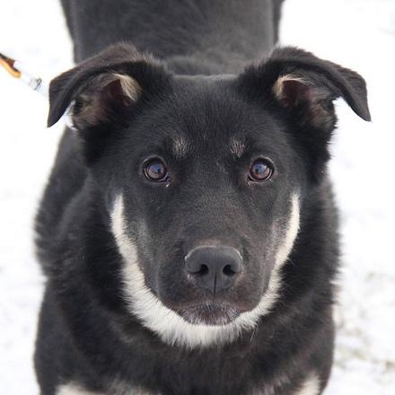 Рокфор собака из приюта на пристройство, частный приют для бездомных животных Зов Предков zovpredkov.net