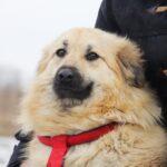 Ива собака из приюта на пристройство, частный приют для бездомных животных Зов Предков zovpredkov.net фото 6