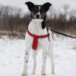 Квини собака из приюта на пристройство, частный приют для бездомных животных Зов Предков zovpredkov.net фото 8