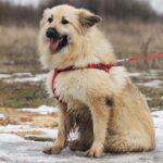 Ива собака из приюта на пристройство, частный приют для бездомных животных Зов Предков zovpredkov.net фото 3