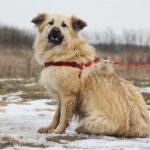 Ива собака из приюта на пристройство, частный приют для бездомных животных Зов Предков zovpredkov.net фото 5