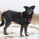 Черри собака из приюта на пристройство, частный приют для бездомных животных Зов Предков zovpredkov.net фото 3