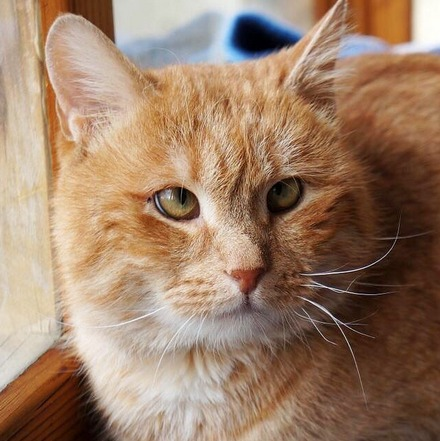 Олли кот из приюта на пристройство частный приют для бездомных животных Зов Предков zovpredkov.net
