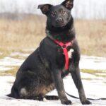 Черри собака из приюта на пристройство, частный приют для бездомных животных Зов Предков zovpredkov.net фото 7