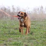 Кэнди собака из приюта на пристройство, частный приют для бездомных животных Зов Предков zovpredkov.net фото 1