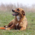 Кэнди собака из приюта на пристройство, частный приют для бездомных животных Зов Предков zovpredkov.net фото 5