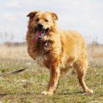 Флинт собака из приюта на пристройство, частный приют для бездомных животных Зов Предков zovpredkov.net фото 4