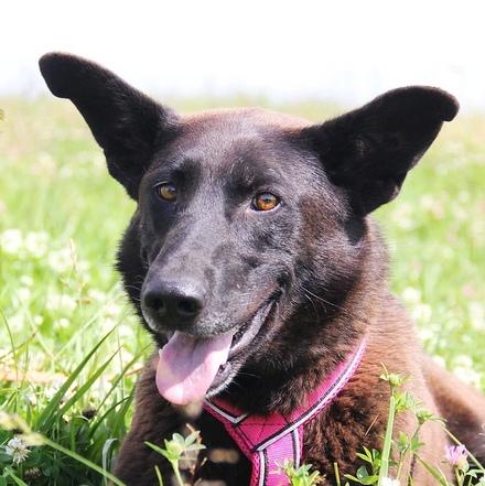 Барбариска собака из приюта на пристройство, частный приют для бездомных животных Зов Предков zovpredkov.net