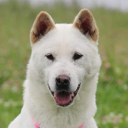 Белоснежка собака из приюта на пристройство, частный приют для бездомных животных Зов Предков zovpredkov.net