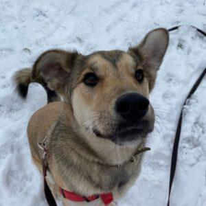 Форест собака из приюта на пристройство, собака ищет дом, частный приют для бездомных животных Зов Предков zovpredkov.net
