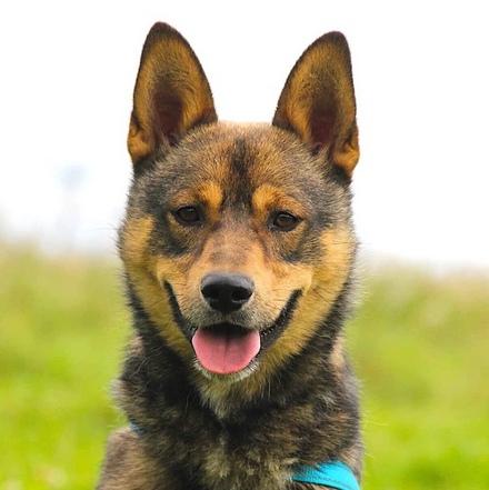 Люпин собака из приюта на пристройство, частный приют для бездомных животных Зов Предков zovpredkov.net