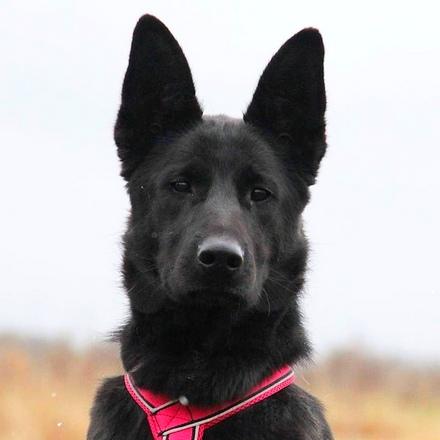 Кайла собака из приюта на пристройство, собака ищет дом, частный приют для бездомных животных Зов Предков zovpredkov.net
