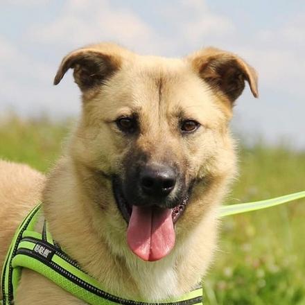 Кефир собака из приюта на пристройство, собака ищет дом, частный приют для бездомных животных Зов Предков zovpredkov.net