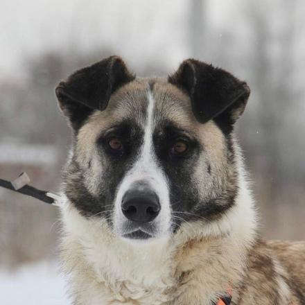 Сальма собака из приюта на пристройство, собака ищет дом, частный приют для бездомных животных Зов Предков zovpredkov.net