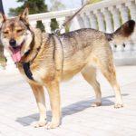 Дина собака из приюта на пристройство приют для бездомных животных Зов Предков zovpredkov.net фото 9