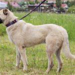 Топаз собака из приюта на пристройство, частный приют Зов Предков zovpredkov.net фото 4