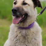 Топаз собака из приюта на пристройство, частный приют Зов Предков zovpredkov.net фото 2