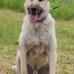Топаз собака из приюта на пристройство, частный приют Зов Предков zovpredkov.net фото 1