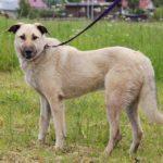 Топаз собака из приюта на пристройство, частный приют Зов Предков zovpredkov.net фото 3