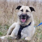 Топаз собака из приюта на пристройство, частный приют Зов Предков zovpredkov.net фото 10