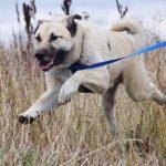 Топаз собака из приюта на пристройство, частный приют Зов Предков zovpredkov.net фото 8