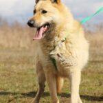 Ирбис собака из приюта на пристройство приют для бездомных животных Зов Предков zovpredkov.net фото 16