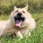 Ирбис собака из приюта на пристройство приют для бездомных животных Зов Предков zovpredkov.net фото 3